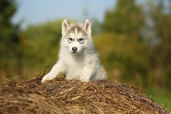 samoyed Puppy leeftijd 2 maanden Stock Foto