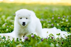 Samoyed puppy outdoors in summer Royalty Free Stock Photo