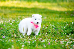 Samoyed puppy outdoors in summer Royalty Free Stock Photos