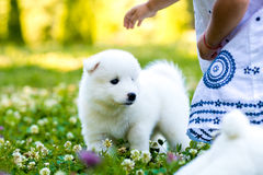 Samoyed puppy outdoors in summer Royalty Free Stock Image