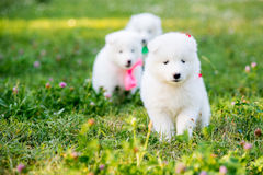 Samoyed puppy outdoors in summer Stock Photos