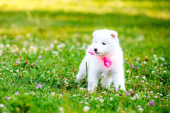 Samoyed puppy outdoors in summer Royalty Free Stock Photography