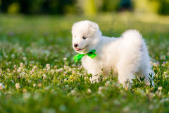 Samoyed puppy outdoors in summer Stock Images