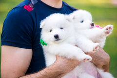 Samoyed puppy outdoors in summer Royalty Free Stock Images