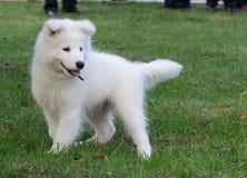 Samoyed puppy Stock Image