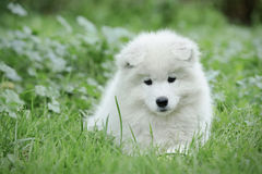 Samoyed puppy portrait Stock Image