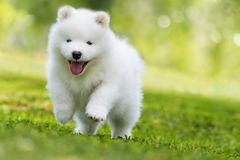 Samoyed puppy running in a meadow. Samoyed puppy running in a spring meadow and looking to the camera royalty free stock photography