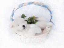 Samoyed puppy sleeping in a basket Royalty Free Stock Photography