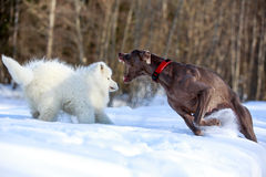 Two dogs Stock Photography