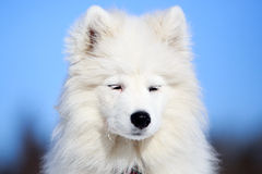 Samoyed puppy Royalty Free Stock Photos