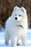 Samoyed puppy. In winter snow Stock Photos