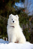 Samoyed puppy Stock Photography