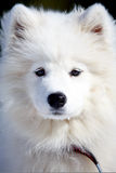 Samoyed puppy Stock Images