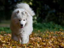 Samoyed on the run Royalty Free Stock Images