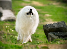Samoyed running Stock Images