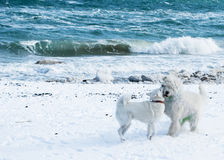 Samoyed and russian sheep dog Royalty Free Stock Photo