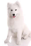 samoyed's dog Royalty Free Stock Images