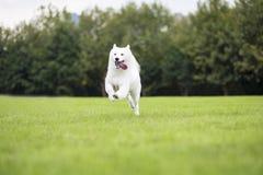 Samoyed Royalty Free Stock Photo