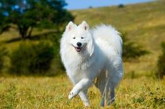 Samoyed sibérien, chien enroué blanc Images libres de droits