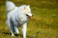 Samoyed sibérien, chien enroué blanc Photos stock