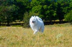 Samoyed sibérien, chien enroué blanc Photo libre de droits