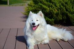 Samoyed sibérien, chien enroué blanc Photographie stock libre de droits