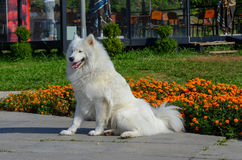 Samoyed sibérien, chien enroué blanc photographie stock