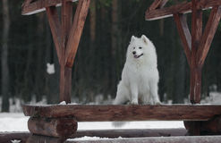 Samoyed sitting Stock Image