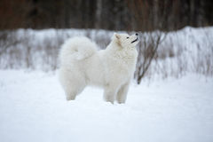 Samoyed sitting Stock Images