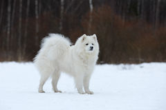 Samoyed sitting in the snow. Stock Photos