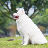 Samoyed is sitting Stock Images