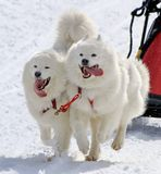 Samoyed sled dog team at work Stock Images