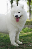 Samoyed smile. Samoyed dog looking across open green field Stock Photography