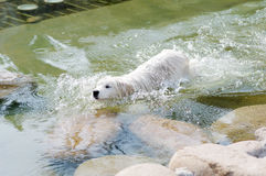 Samoyed swimming. A Samoyed swimming in pool Royalty Free Stock Photo