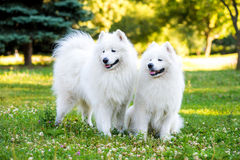 Samoyed two dogs in the park. Two adults samoyed dogs on a meadow Stock Images