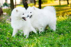 Samoyed two dogs in the park. Two adults samoyed dogs on a meadow Royalty Free Stock Photography