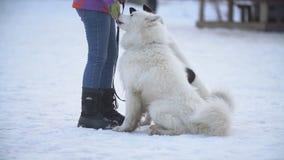 Samoyed- und Akita-Hunde stock video footage