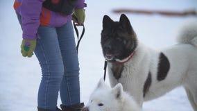 Samoyed- und Akita-Hunde stock footage