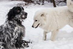 Samoyed und englischer Setzer, die im Schnee spielen Lizenzfreie Stockfotografie