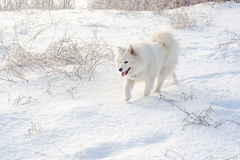Samoyed white dog on snow Stock Image