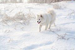 Samoyed white dog on snow Stock Image