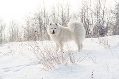 Samoyed white dog on snow Stock Photo
