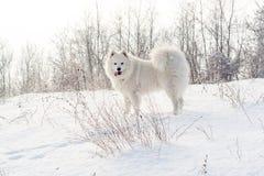 Samoyed white dog on snow Stock Photo