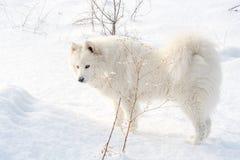 Samoyed white dog on snow Stock Photos