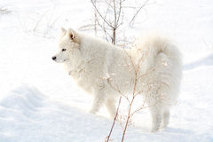 Samoyed white dog on snow Royalty Free Stock Photography