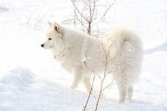 Samoyed white dog on snow Royalty Free Stock Photography