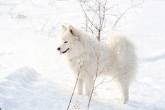 Samoyed white dog on snow Stock Photos