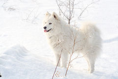 Samoyed white dog on snow Royalty Free Stock Photos