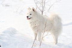 Samoyed white dog on snow Royalty Free Stock Photos