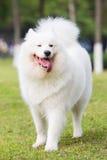 Samoyed Royalty Free Stock Photography